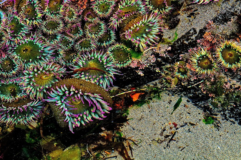 Pink-tipped anemones at Cape Arago in Oregon.<br /> Photo © Carl Clark