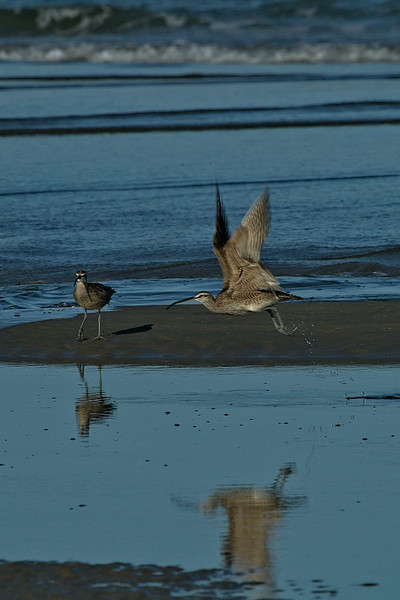 Whimbrels enjoying the shoreline on the Oregon Coast near Bandon.<br /> Photo © Carl Clark