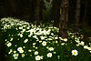 Daisies bloom at Shore Acres, a must-see park on the central Oregon coast.<br /> Photo © Cindy Clark