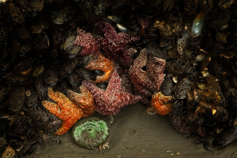 Happy to report healthy sea stars on the Oregon coast! <br /> Photo © Cindy Clark