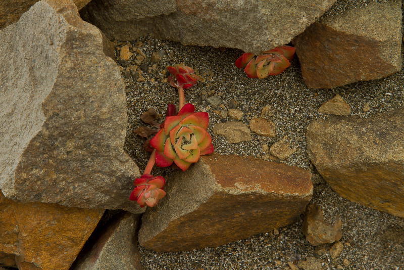 A coastal succulant provides a striking contrast with sandstone.<br /> Photo © Cindy Clark
