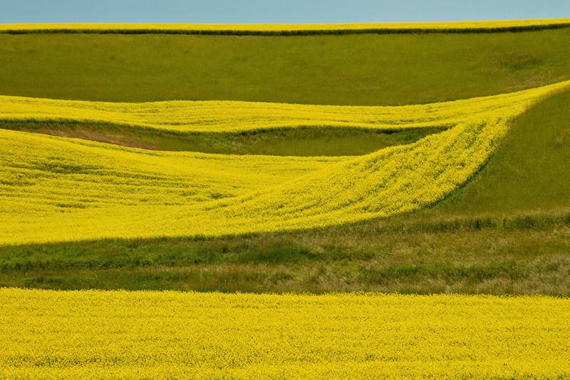 Alternating plantings of mustard create striking patterns in Washington's Palouse hills.<br /> Photo © Cindy Clark