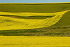 Alternating plantings of mustard create striking patterns in Washington's Palouse hills.<br /> Photo © Cindy Clark