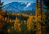 The locals call them tamaracks - western larches in full autumn color in the Wallowas.<br /> Photo © Cindy Clark