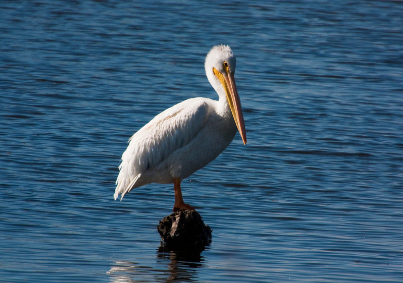 Who's watching whom?   A pelican contemplates the photographer - Klamath, Oregon.<br /> Photo © Cindy Clark
