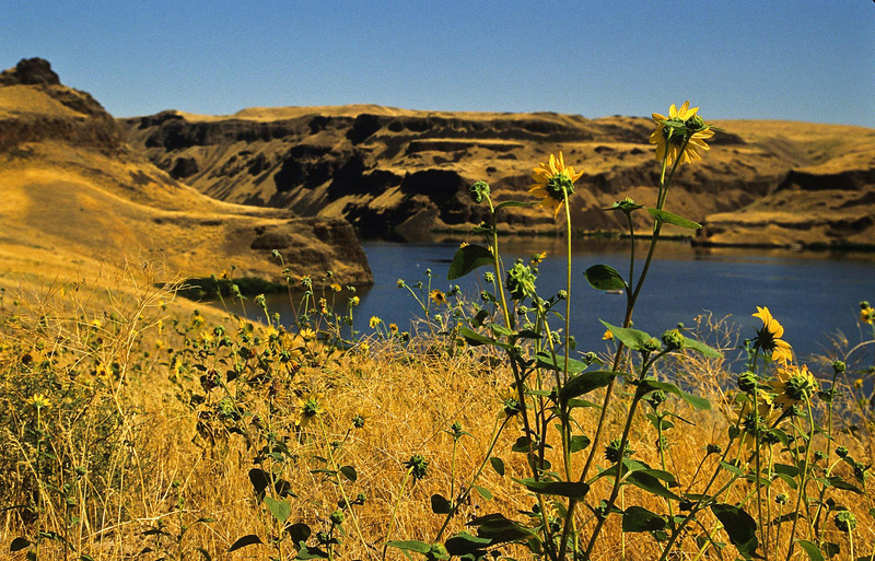 Sunflowers contemplate a bend in the Columbia River, eastern Washington.<br /> This is why I still love film!<br /> Photo © Cindy Clark