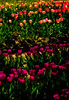Let me take you down 'cause I'm going to . . . Skagit Valley tulip fields.<br /> Photo © Cindy Clark