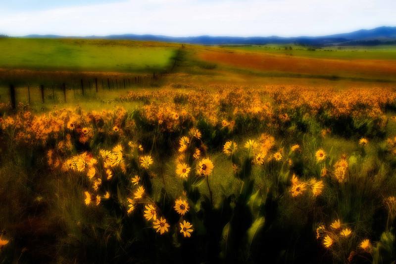 Summertime glows in the aster fields near Elgin, Oregon.<br /> Photo © Carl Clark