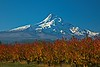 Pear orchards display autumn foliage beneath Oregon's iconic Mt Hood.<br /> Photo © Carl Clark