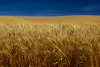 Summer gold!  A ripe field of wheat in eastern Washington.<br /> Photo © Cindy Clark