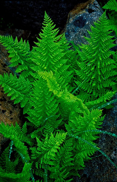 I love the contrast between the soft fern & the hard granite. Taken on Mt. Pilchuck, Washington.<br /> Photo © Cindy Clark