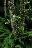 One of my first digital photos - alder trees on Goat Lake Trail, Washington.<br /> Photo © Cindy Clark