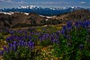 Looking over subalpine lupine to Mt Olympus - Washington Olympic Mts.<br /> Photo © Carl Clark