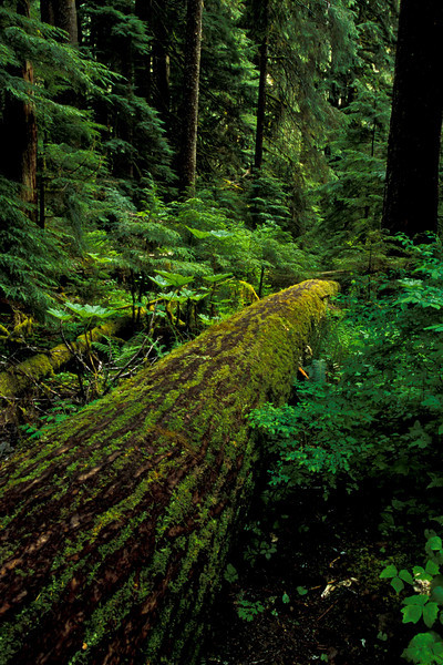 The cycle of life along the Sol Duc River - Washington Olympic Mts.<br /> Photo © Carl Clark