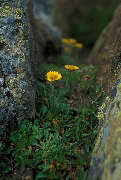 Delicate beauty on top of Mt. Dickerman - Alpine yellow fleabane.<br /> Photo © Cindy Clark