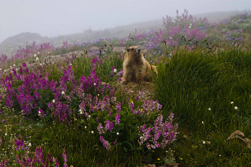 """I AM big.  It's the mountains that got small.""  Olympic marmot on Obstruction Point trail - Washington Olympic Mts.<br /> Photo © Carl Clark"