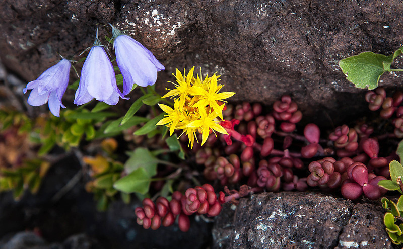 The top of Mt. Townsend in the Olympic Mts. is a harsh environment.  But these tough little plants, including spreading stonecrop (yellow flowers, red leaves) and gentian (blue) will have their day!<br /> Photo © Cindy Clark