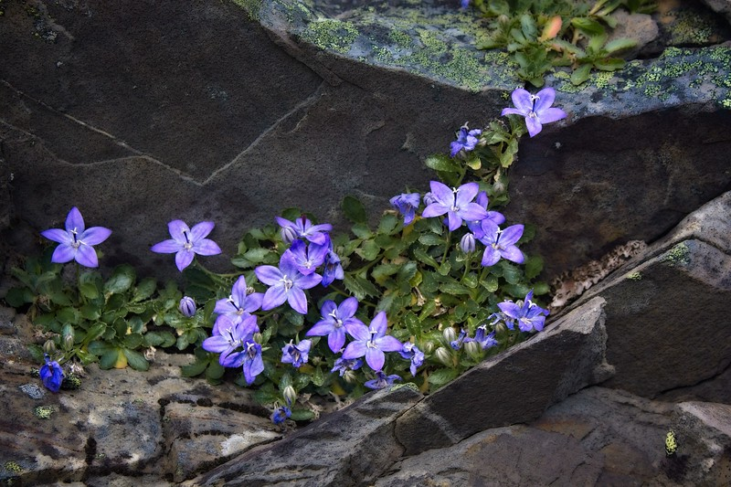 High in the mountains of Olympic National Park, a Piper's Harebell blooms in July.<br /> © Cindy Clark