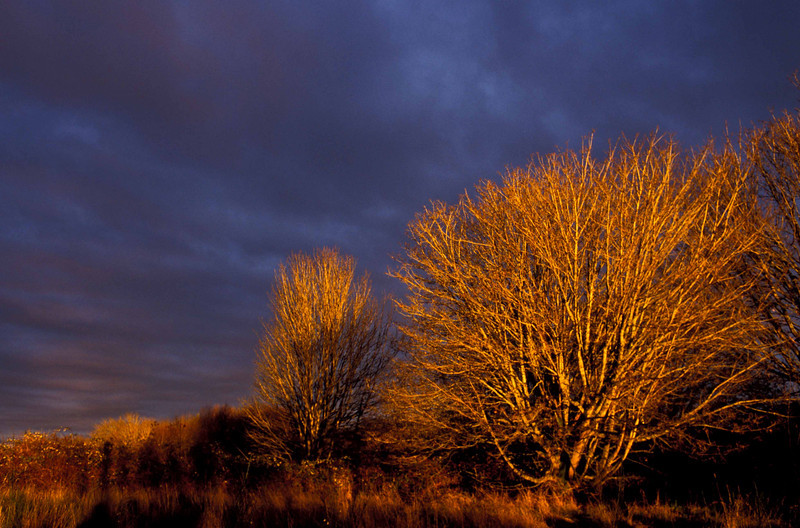 Wintery sunset on the bare maples at Discovery Park in Seattle.<br /> Photo © Carl Clark