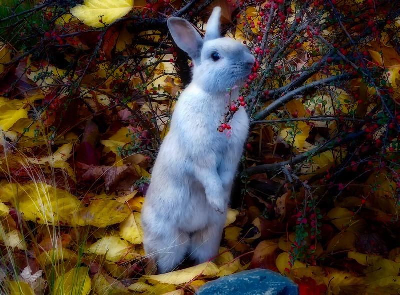 Domestic rabbit in Langley, Washington.<br /> Photo © Cindy Clark