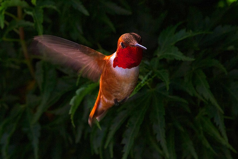 A rufous hummingbird outside our kitchen window this Spring. Migrators, they show up here in March to breed and leave in late June or early July. <br /> Photo © Carl Clark