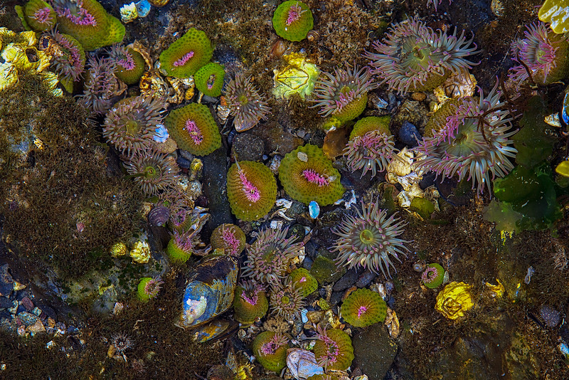 Abundant sea life dominated by pink-tipped anemones at Rosario Beach in Deception Pass State Park.<br /> Photo © Carl Clark