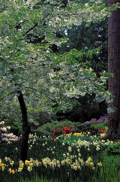 Spring comes to Meerkerk Gardens on Whidbey Island, Washington.<br /> Photo © Cindy Clark