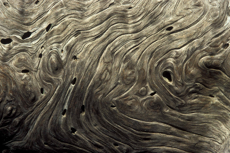 Wormholes in the wood at Ebey's Landing on Whidbey Island.<br /> Photo © Carl Clark