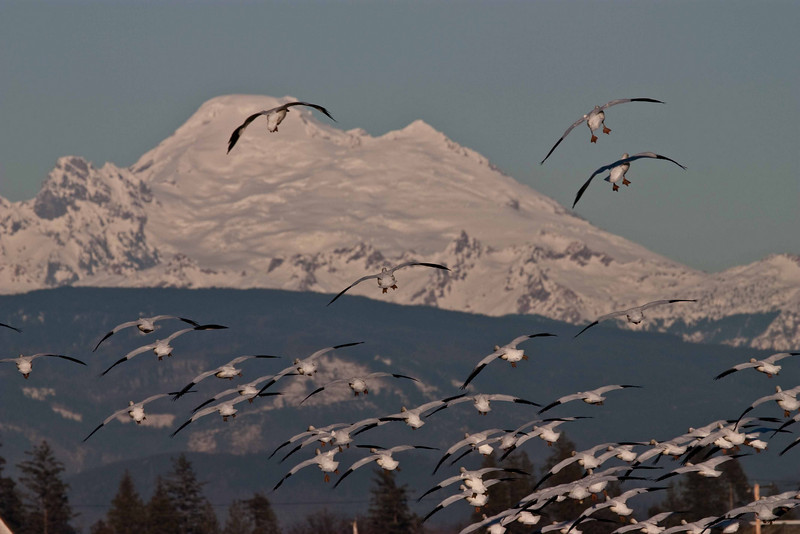 Snow geese wintering in the Skagit River valley take flight toward Mt Baker.<br /> Photo © Carl Clark