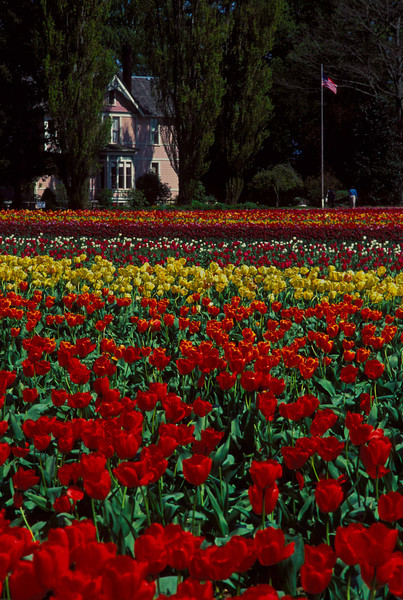 Typical tulip display in the Skagit River valley.<br /> Photo © Carl Clark
