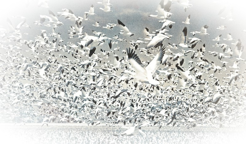 Skagit Valley Snow Geese re-imagined.<br /> © Cindy Clark