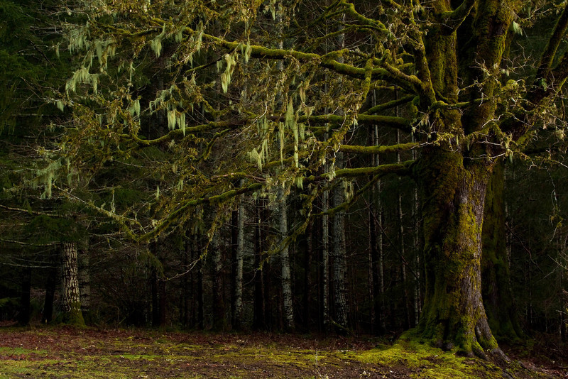 Moss gives an enchanted look to a forest near Crescent Lake, Washington.<br /> Photo © Cindy Clark