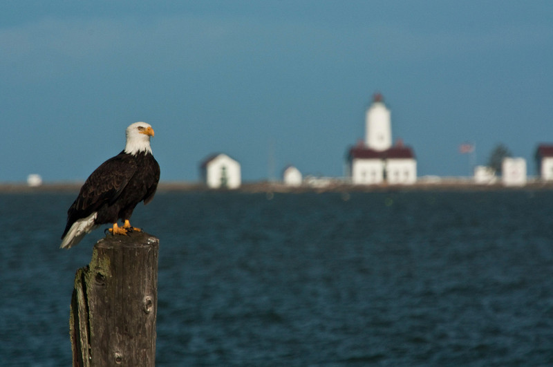 A bald eagle stands guard over the Dungeness Lighthouse on the Olympic Peninsula.<br /> Photo © Cindy Clark