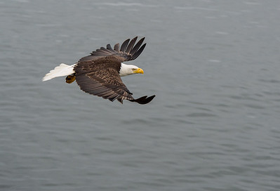 Bald Eagle near Prince Rupert, British Columbia
