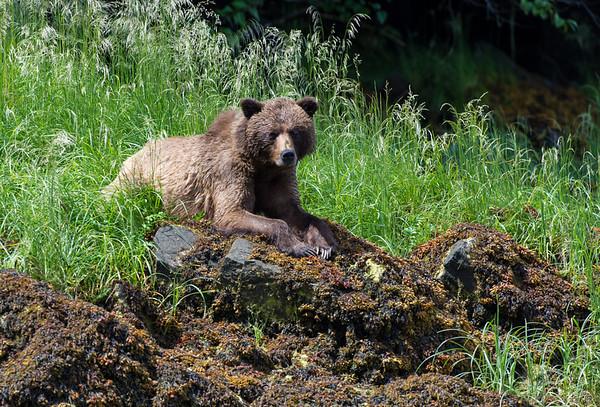 Grizzly Bear, Khutzeymateen Provincial Park, British Columbia