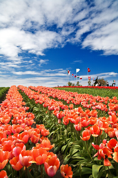 Tulip Festival, Mt. Vernon, Skagit Valley, Washington. 鬱金香節,華盛頓州