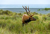 Bull Roosevelt Elk on Beach