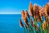 Pampas Grass & Ocean