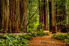 Redwoods & Path
