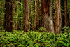 Redwoods & Ferns