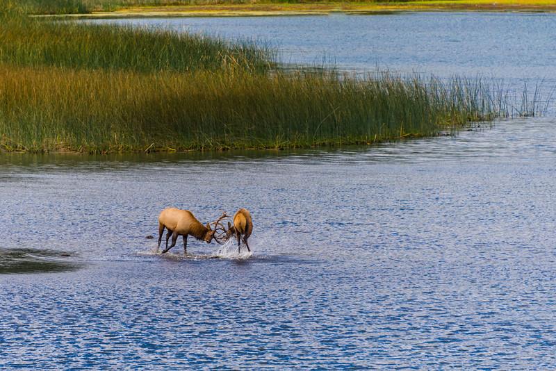 Bull Roosevelt Elk Fighting