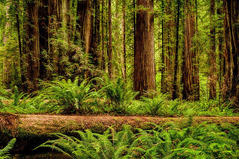 Fallen Redwood & Ferns
