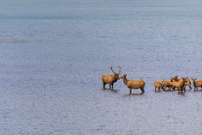 Bull Elk, Cow and Young