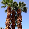 Palm Trees in Palm Springs in CA