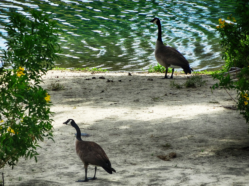 Canada Geese at Marriott Shadow Ridge in Palm Springs California