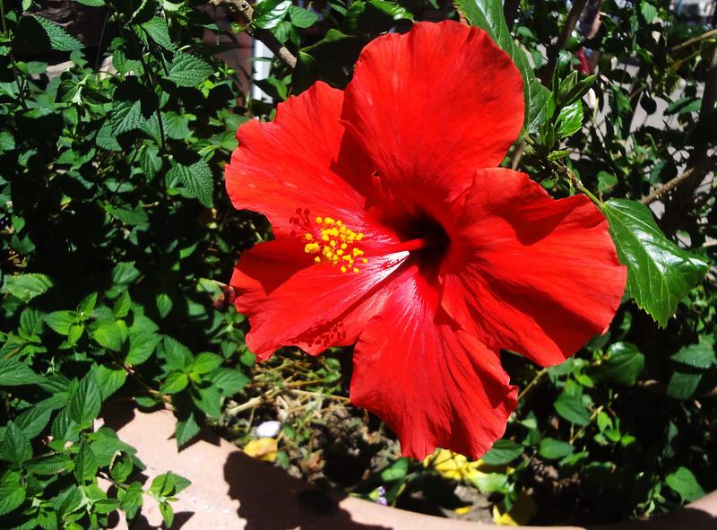 Hibiscus ini Palm Springs CA 2