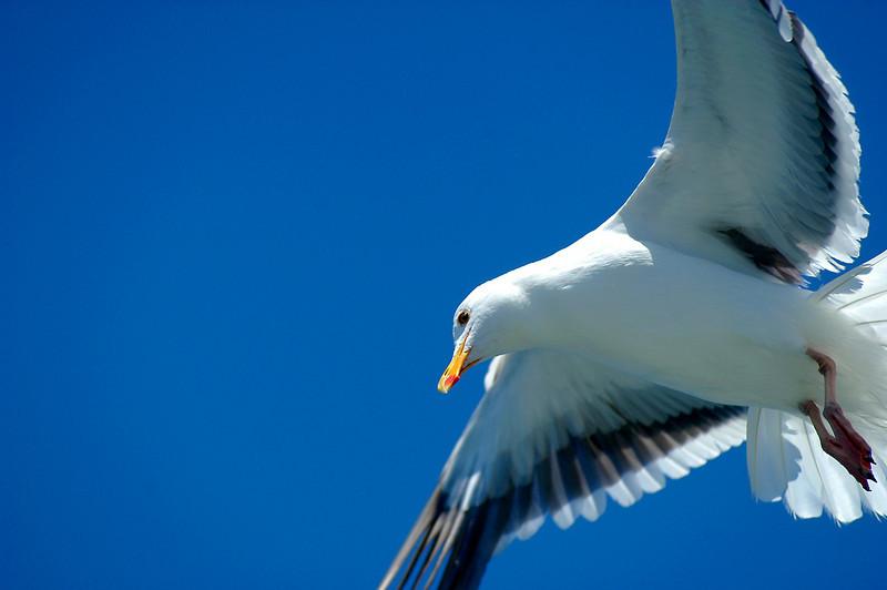 Seagull_f