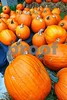 P1260148 Pumpkins 3 vt prodeX1