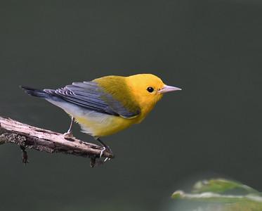 Prothonatory Warbler, Gamboa, Panama