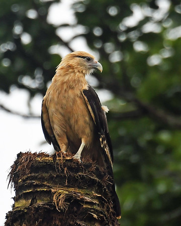 Yellow Headed Caracara, Gamboa, Panama